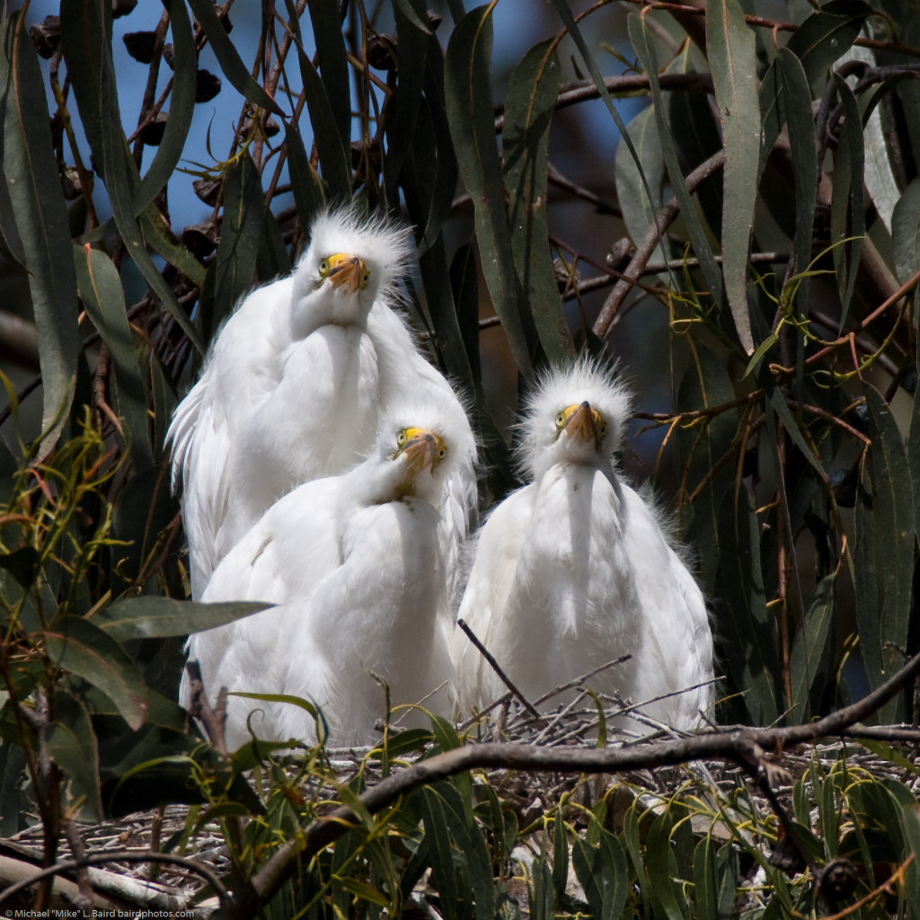 5 of 6 Great Egret (Ardea alba) nest with three chicks at the Mo