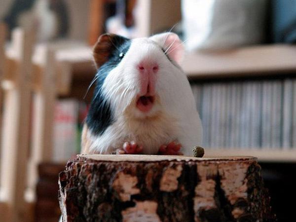 a.baa-surprise-guinea-pig