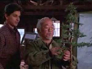 01-karate-kid-bonsai