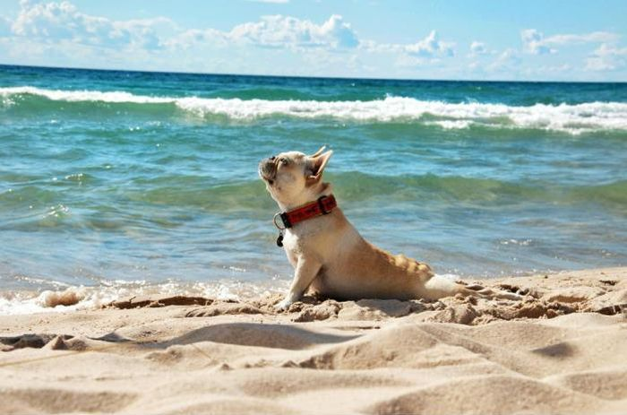 Dog-at-beach-in-funny-swimsuit-model-pose