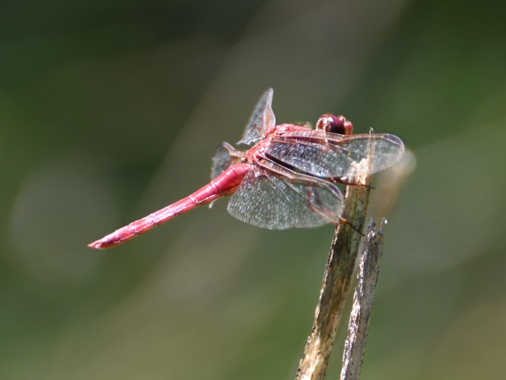libélula roja dragon fly