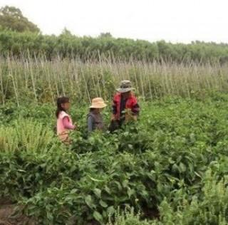 Trabajo infantil en la yerba mate