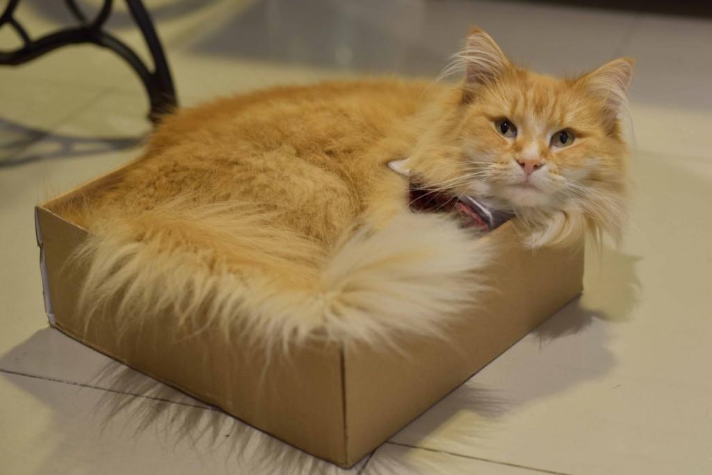 Gato eventual empaquetado y en caja