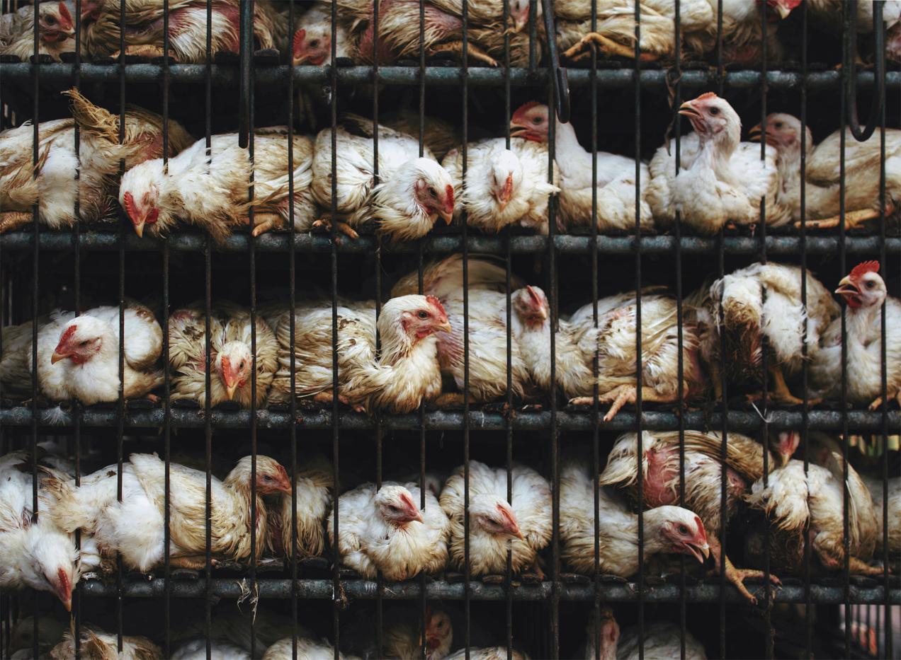 Resultat d'imatges de residuos de antibióticos en la carne