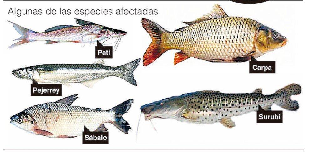 Alertan sobre micropl sticos en peces de consumo humano for Cria de peces para consumo humano